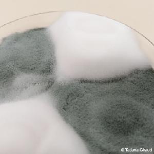 Les cultures de Penicillium camemberti (blanc et cotonneux) et Penicillium biforme (gris vert) dans une boîte de pétri. © Tatiana Giraud, chercheuse CNRS au laboratoire Ecologie, systématique et évolution (CNRS/Université Paris-Saclay/AgroParisTech), médaille d'argent 2015 du CNRS.